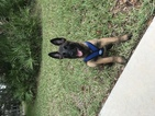 Belgian Malinois Puppy For Sale in BRADENTON, FL,