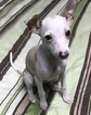 Italian Greyhound Puppy For Sale in BROOKLYN, NY, USA