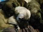 Mastiff Puppy For Sale in TOWNSEND, DE,