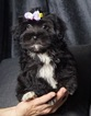 KIZZY Adorable Shorkie Baby Ready to go