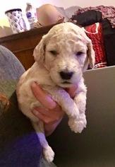 Goldendoodle-Poodle (Standard) Mix Puppy For Sale in JACKSONVILLE, FL, USA