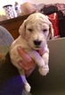 Goldendoodle-Poodle (Standard) Mix Puppy For Sale in JACKSONVILLE, FL, USA