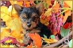 AKC tiny male Yorkie charting to be 3 pound adult