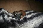 Soft Coated Wheaten Terrier Puppy Pixie