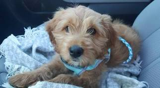 Goldendoodle Puppy For Sale in BRONX, NY