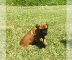 Small #4 Bullmastiff