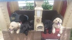 Labrador Retriever Puppy For Sale in HAVANA, KS, USA