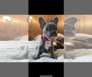 French Bulldog Puppy for Sale in BIDDEFORD, Maine USA