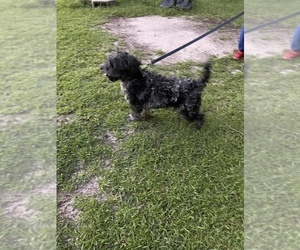 F2 Aussiedoodle Puppy for sale in WINTERVILLE, NC, USA