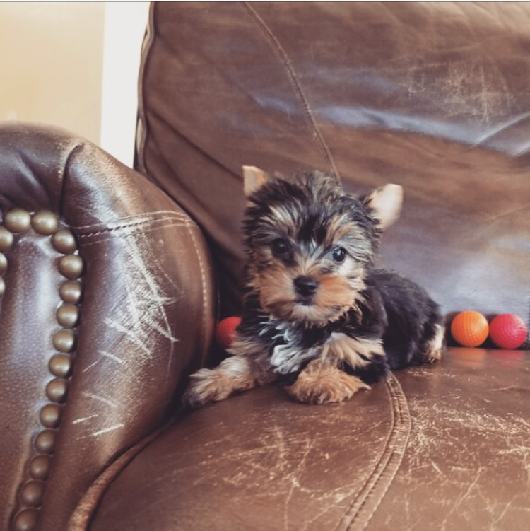 View Ad: Yorkshire Terrier Puppy for Sale, California, LOS ...