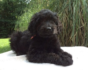 Goldendoodle Puppy For Sale in TROUTMAN, NC, USA