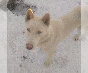 Siberian Husky Dog for Adoption in OWENSBORO, Kentucky USA