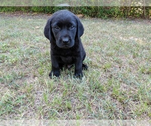 Labrador Retriever Puppy for Sale in WAGENER, South Carolina USA