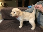Goldendoodle Puppy For Sale in MOSINEE, WI, USA