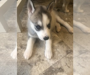 Siberian Husky Puppy for Sale in BRENTWOOD, Pennsylvania USA