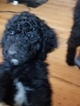 Poodle (Standard) Puppy For Sale in INDEPENDENCE, Missouri,