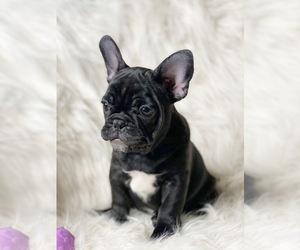 French Bulldog Puppy for Sale in DELTA, Colorado USA