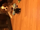 Cavalier King Charles Spaniel Puppy For Sale in CHICAGO, IL