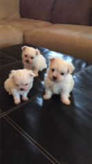 Maltese Puppy For Sale in AZLE, TX