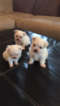 Champion Bloodline AKC Maltese Puppies