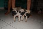 Pug Puppy For Sale in MIAMI, FL, USA