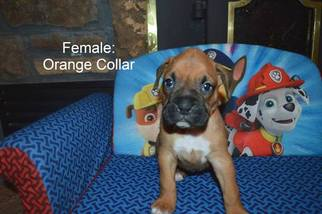 Boxer Puppy For Sale in CARTHAGE, MO