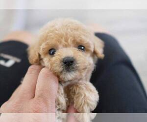 Poodle (Miniature) Puppy for Sale in FULLERTON, California USA