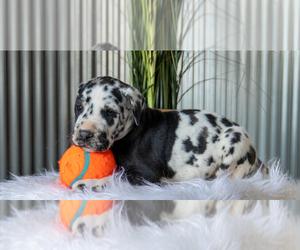 Great Dane Dog for Adoption in GOSHEN, Indiana USA