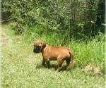 Small Bullmastiff