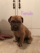 Dogue de Bordeaux Puppy For Sale in WEBB CITY, MO