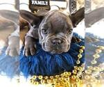 Small Photo #3 French Bulldog Puppy For Sale in HEATHROW, FL, USA
