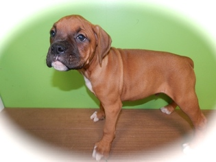 Boxer Puppy For Sale in HAMMOND, IN, USA