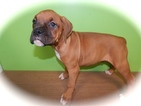Boxer Puppy For Sale in HAMMOND, IN,