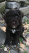Portuguese Water Dog Puppy For Sale in BUFFALO, NY, USA