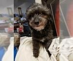 100 OFF sale Adult toy poodle