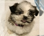 Shih Tzu Puppy For Sale in KETTLE FALLS, WA, USA