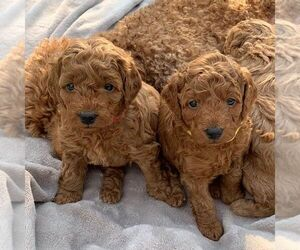Goldendoodle Puppy for sale in EMPIRE STATE, NY, USA