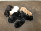 Labrador Retriever Puppy For Sale near 95501, Cutten, CA, USA