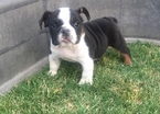 English Bulldogge Puppy For Sale in FRESNO, California,