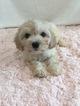 Cavapoo Puppy For Sale in HAMPSHIRE, IL
