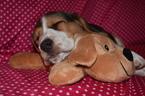 Small Photo #4 Beagle Puppy For Sale in REASNOR, IA, USA