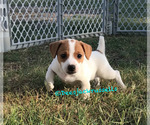 Jack Russell Terrier Puppy For Sale in MARLOW, OK, USA