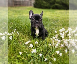 French Bulldog Puppy for sale in MOORESVILLE, NC, USA