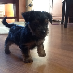 Yorkshire Terrier Puppy For Sale in VALLEJO, CA