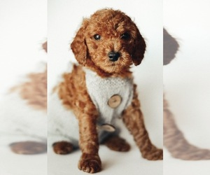Goldendoodle Puppy for Sale in MOUNTAIN HOME, Idaho USA