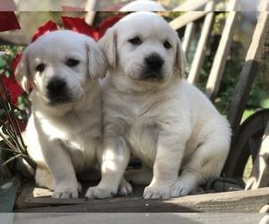 Labrador Retriever Puppy for sale in GLENDALE, CA, USA