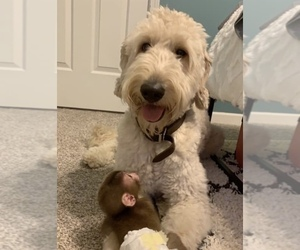 Father of the Goldendoodle puppies born on 08/11/2019