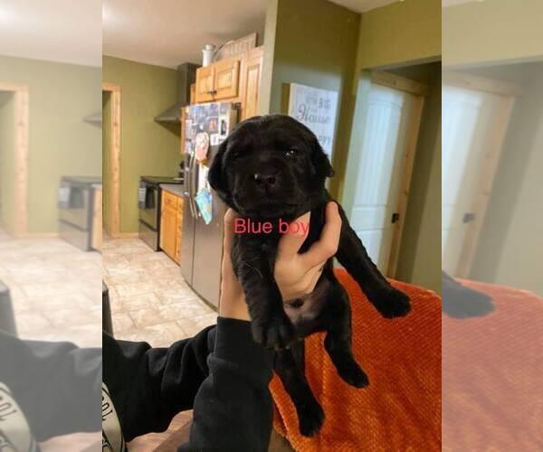 Medium Photo #2 Labrador Retriever Puppy For Sale in CARTHAGE, MO, USA