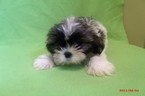Shih Tzu Puppy For Sale in PATERSON, NJ