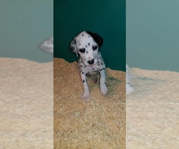 Medium Photo #11 Dalmatian Puppy For Sale in DUVALL, WA, USA